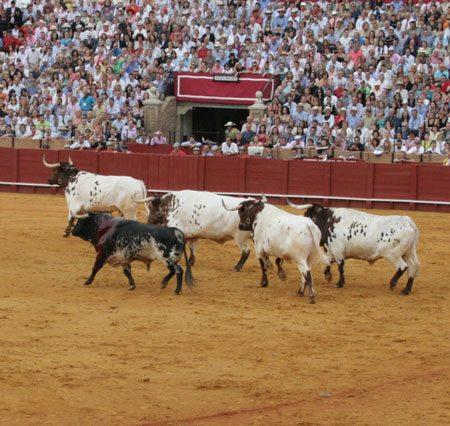 A Lame Bull Is Lead Away By Steers