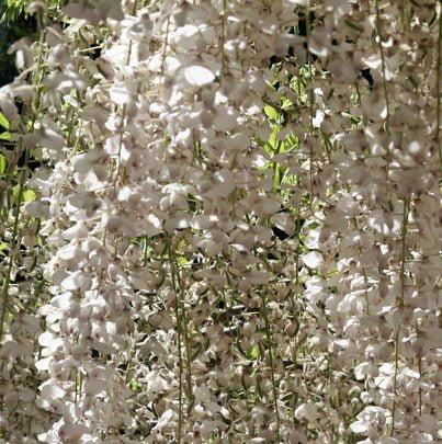 White Wisteria In Generalife Gardens