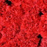 Granada Carnation Red