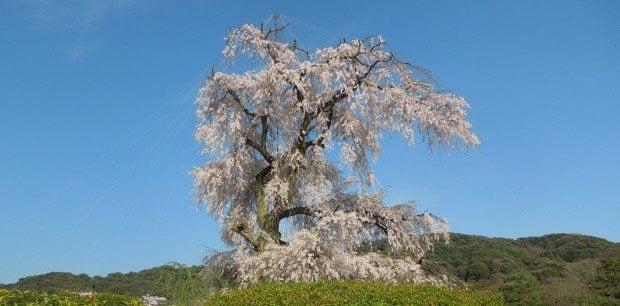 Maruyama Blossom Tree by Day