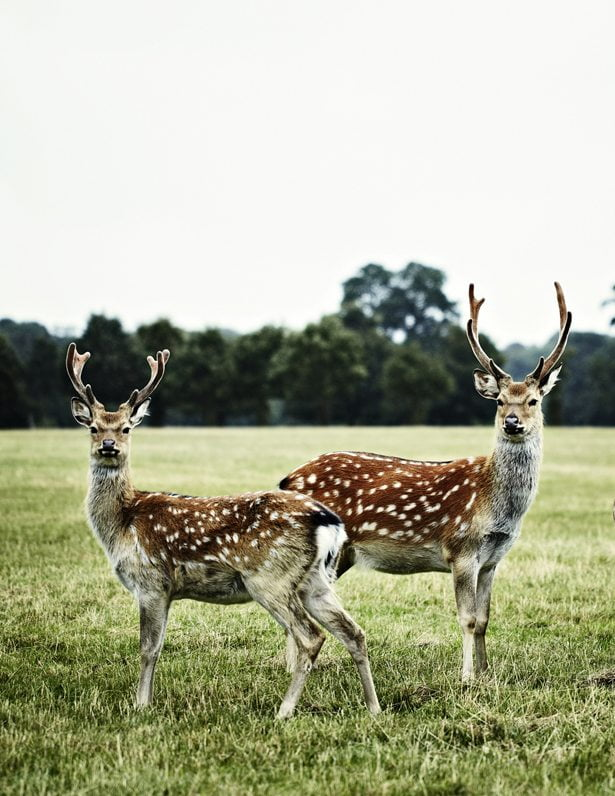 Reindeer In Norfolk - Photograph Sharyn Cairns Styling Glen Proebstel - Courtesy of RED Magazine