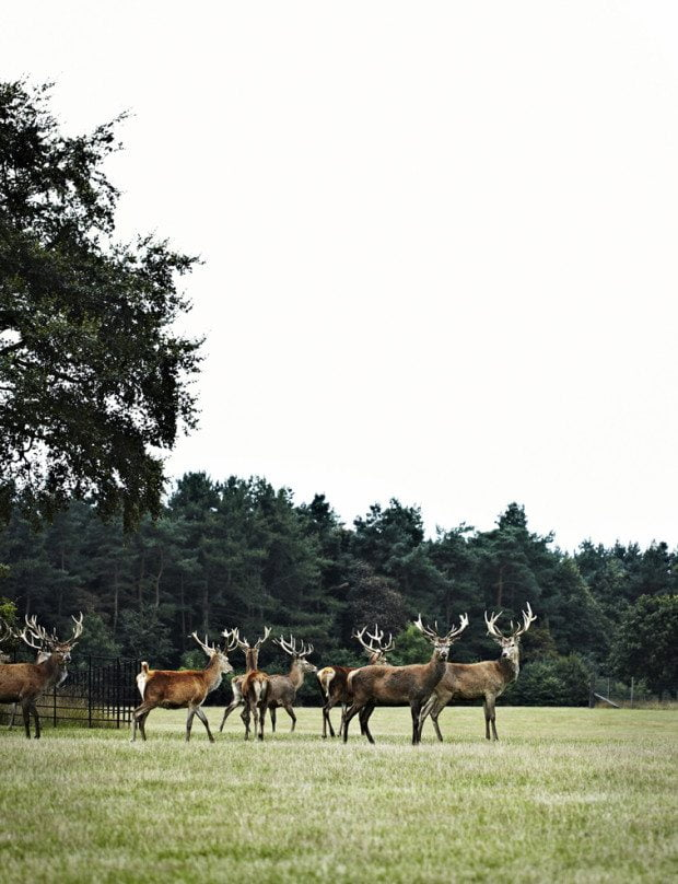 Reindeer in Norfolk Field - Photograph Sharyn Cairns Styling Glen Proebstel - Courtesy of RED Magazine