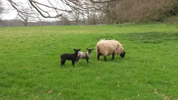 30 Spring Lambs