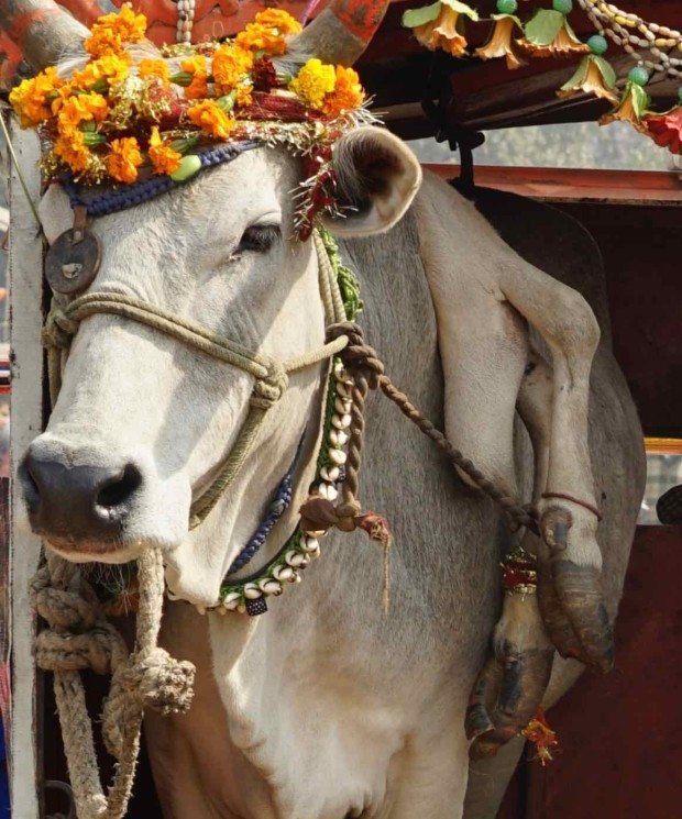 Delhi to Agra - Five Legged Cow - Detail