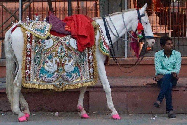 Jaipur - Wedding Horse