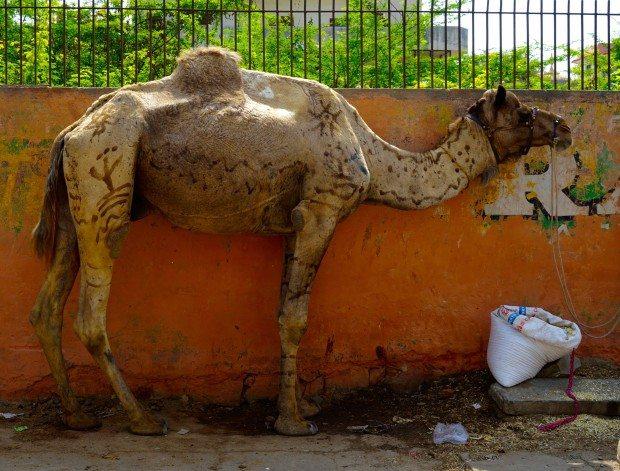 Jaipur - Camel