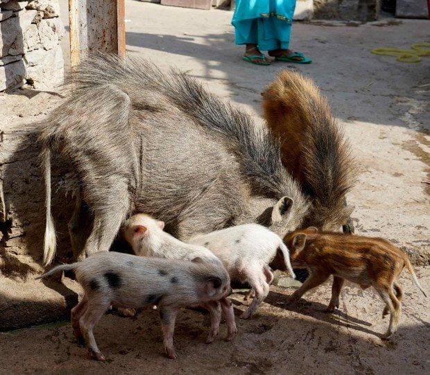Bhainsrorgargh - Village Pigs