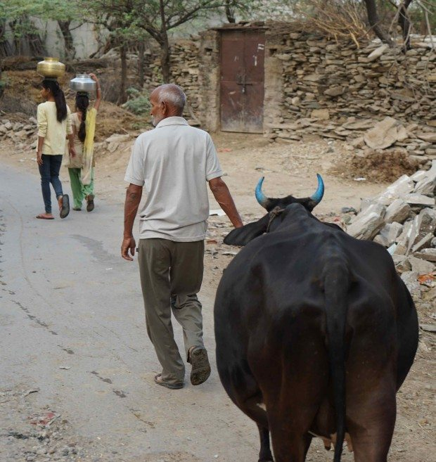Rural Rajasthan - Blue Horned Cow